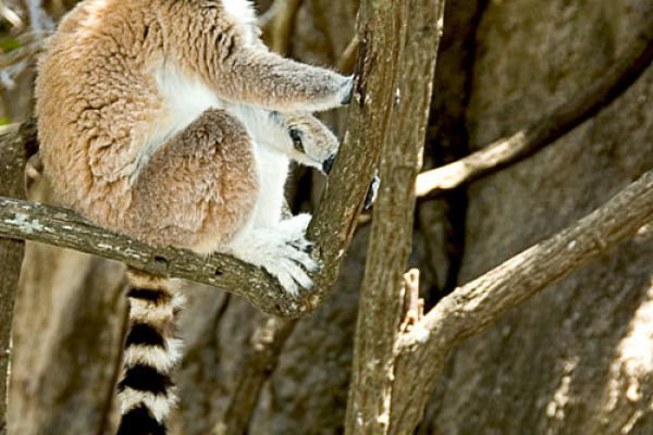 The lemur is Madagascar's most famous type of wildlife